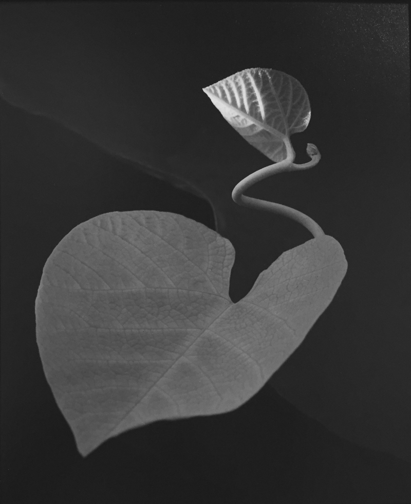 Paul Caponigro, Two Leaves, Brewster, NY, 1963