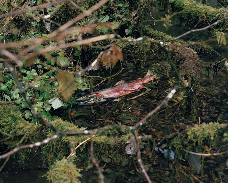 Eirik Johnson, Spawned Coho, upper Sol Duc River, Washington, 2006
