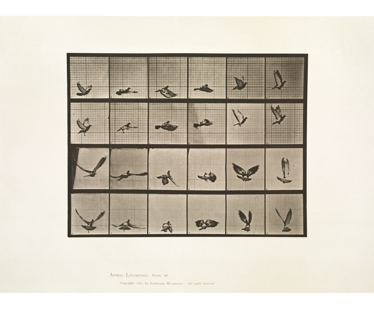 Eadweard Muybridge, Animal Locomotion, Plate 757, (Pigeon flying), 1887, collotype, 12.5 x 9 .5 inches, price on request