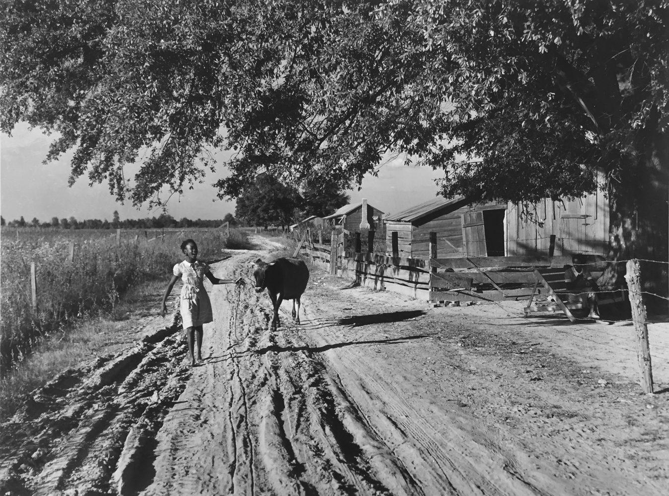 Marion Post Wolcott, The daughter of Cube Walker, a tenant purchase client, bringing home their cow from the fields in the evening, Belzoni, Mississippi, 1939, gelatin silver print, 11 x 14 inches, $3000.