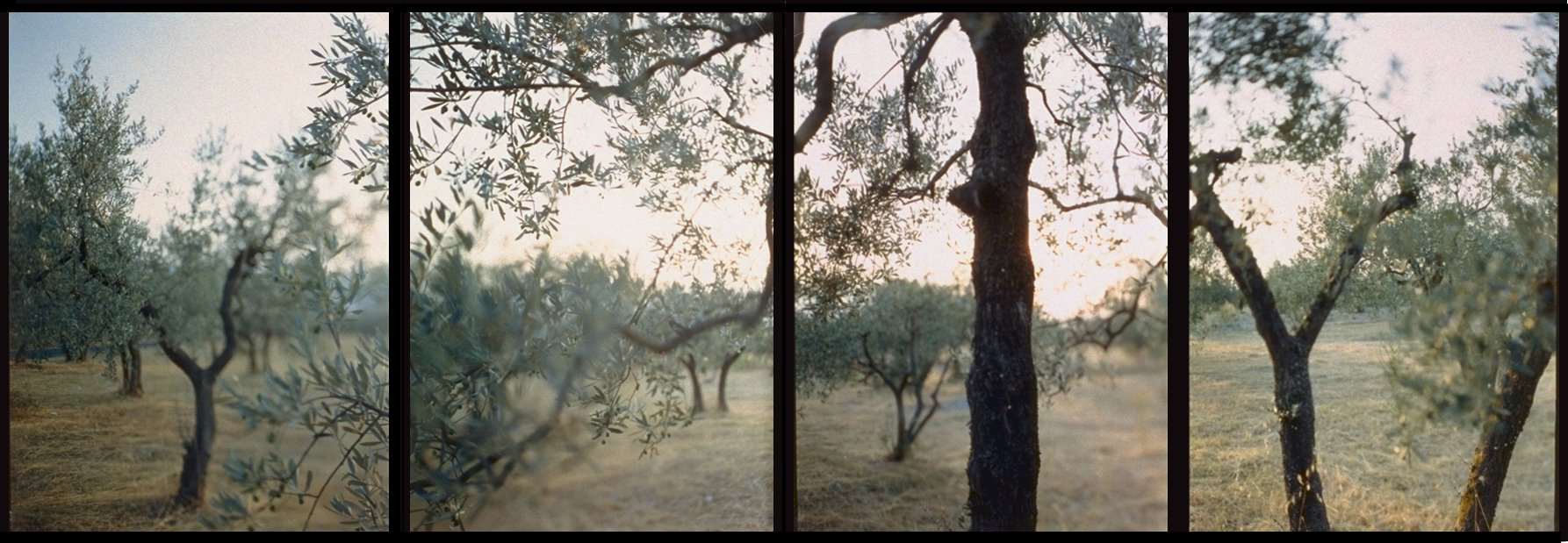 JoAnn Verburg, Olive Trees After the Heat, 1998, 40 inches x 10 feet, 4 chromogenic prints, edition of 25, price on request