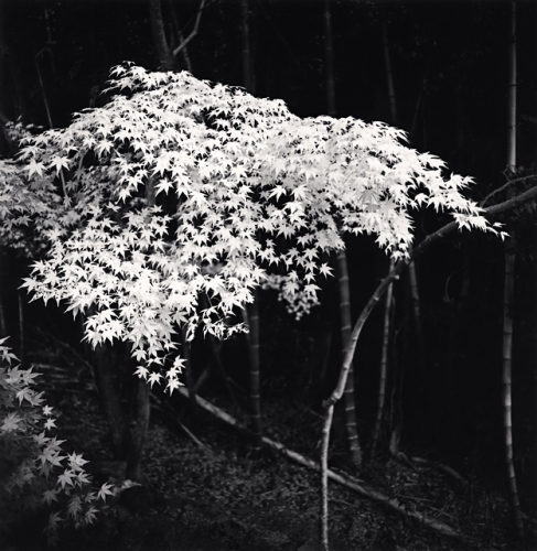 Michael Kenna, Maple Tree in Autumn, Kyoto, Honshu, Japan, 2001