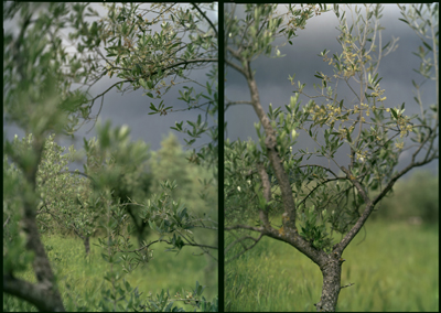 JoAnn Verburg – Olive + Other Trees