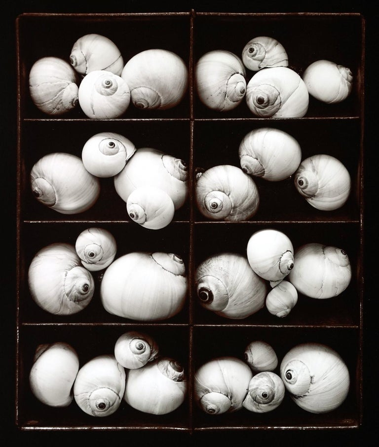 Olivia Parker, Moonsnails, 1978, selenium toned silver print, 14 x 11 inches, price on request